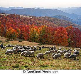 Golden Fleece Carpathians - Ukrainian Carpathians are famous...