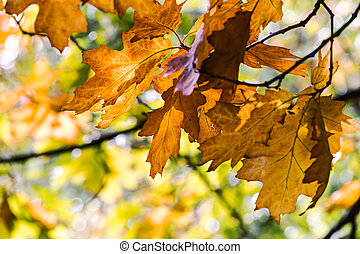 golden foliage of autumn maple tree branch in forest