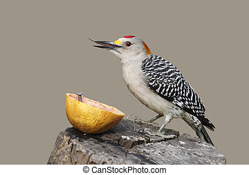 Golden-fronted Woodpecker (Melanerpes aurifrons) with its ...