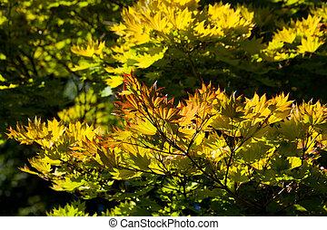 golden full moon maple tree
