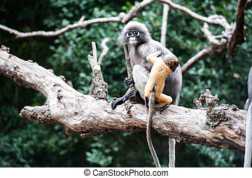 Golden fure baby and mother dusky leaf monkey, Spectacled ...