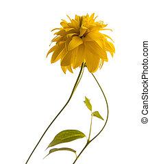 Golden Glow, Rudbekia laciniata flower isolated on white