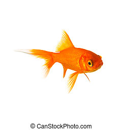 Golden goldfish - A gold fish isolated on white. Taken in ...