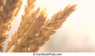 Golden Grain Harvest - Ears of wheat bright yellow orange...