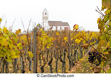 golden grapevines with ripe sweet pinot noir grapes and a...