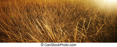 Golden grass in the fields on a sunny summer day
