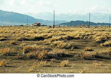 Golden grass in the Mongolian steppe.