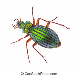 Golden ground beetle Carabus Auronitens isolated on white - ...