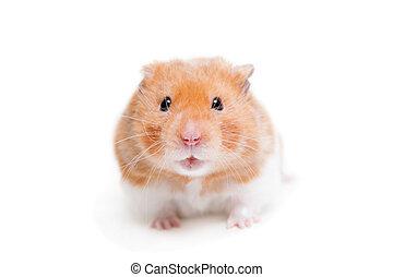 Golden hamster isolated on white - Golden hamster,...