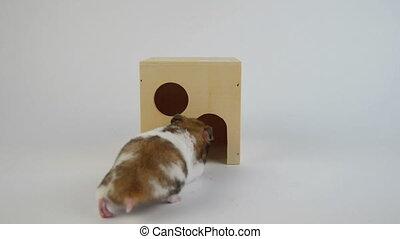 golden hamster walking around