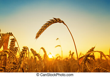 golden harvest and sunset over field