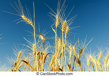 golden harvest on field and deep blue sky