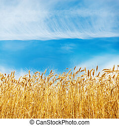 golden harvest on field and white clouds in blue sky over it