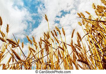 golden harvest on field
