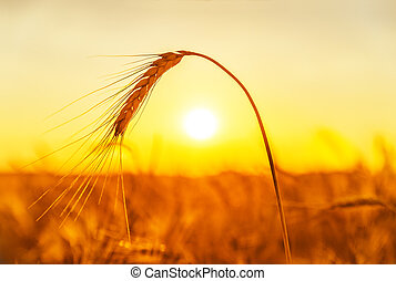 golden harvest on field. sunset time