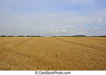 golden harvested wheat field