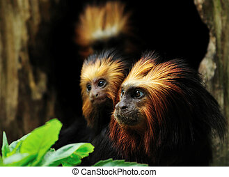 Golden headed Lion Tamarin with baby (Leontopithecus chrysomelas)