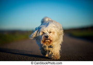 A small white Havanese runs toward the photographer in the golden hour.