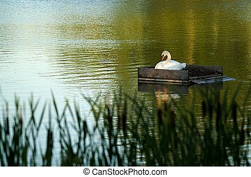 Breeding swan on a pond right before sunset