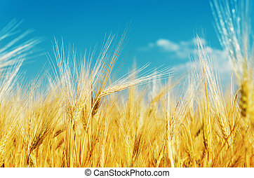golden hrvest on field under blue sky