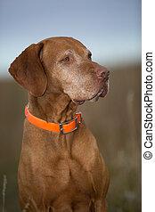 golden hungarian vizsla dog portrait outdoors