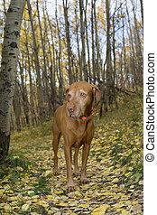 golden hungarian vizsla dog standing on forest path