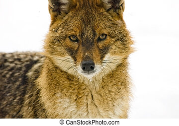 Close portrait of a golden jackal (Canis aureus)