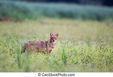 Golden jackal on meadow