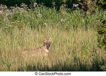 Golden jackal standing on meadow