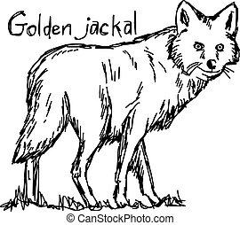 golden jackal - vector illustration sketch hand drawn with...