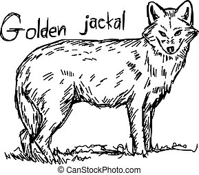 golden jackal - vector illustration sketch hand drawn with...