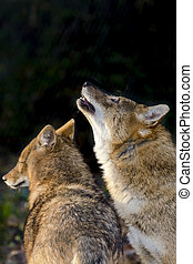 Golden jackals (Canis aureus) in a forest