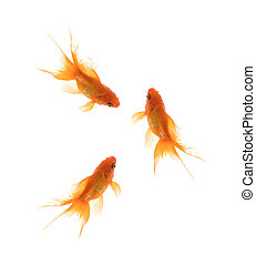 Golden Koi Fishes isolated