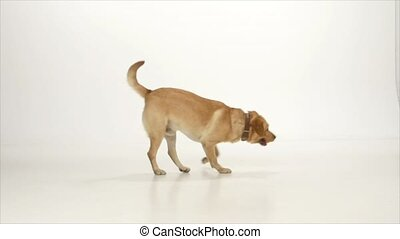 Golden labrador is playing with a ball on white background, slow motion