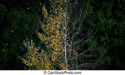 Golden Leaves Blowing Off Half Bare Tree In Fall - Crisp...