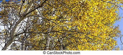 Golden Leaves on a Birch, or Aspen Tree with White Bark