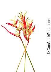 Golden Lobster Claw Flower