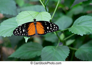 Golden longwing, Heliconius hecale - Golden longwing (...
