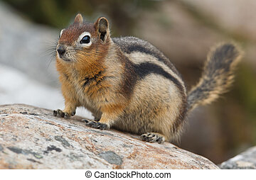 Golden-mantled ground squirrel, spermophilus lateralis, ...