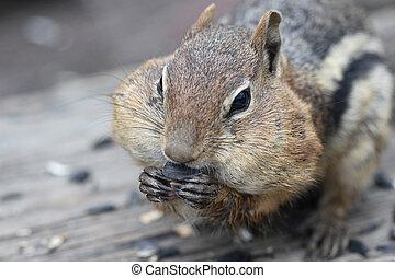 Golden Mantled Ground Squirrel (Spermophilus lateralis) -...
