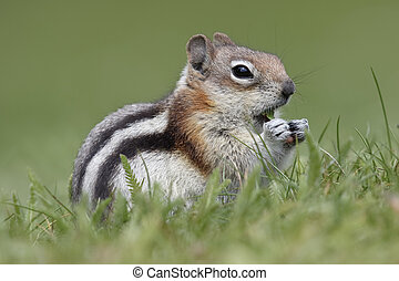 golden-mantled, scoiattolo macinato, -, jasper parco nazionale, canada