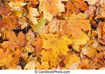 maple fallen leaves background