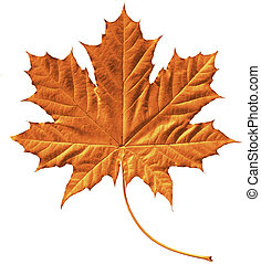Golden maple leaf - Close-up of a perfect golden maple leaf ...
