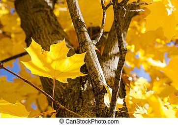 Golden Maple Leaves Exhibiting the Elegance of Autumn