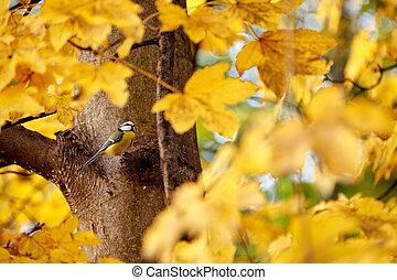 golden maple leaves in autumn