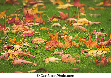 Golden maple leaves on a green lawn in the fall
