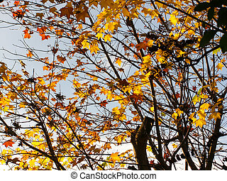 Golden maple leaves tree branches
