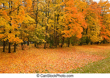 golden maple trees in the park