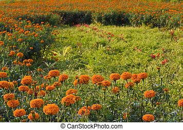golden marigold fields (1)