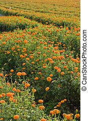 golden marigold fields (2)
